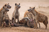 These Spotted Hyena (Crocuta crocuta) chased the pride of Lions that killed this African Buffalo (Syncerus caffer) off their kill in the early morning.  Whilst feeding on the carcass, they kept a nerv