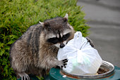 Scavenging Raccoon