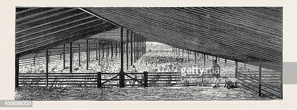 Scene At An Australian Sheep Station Collaroy New South Wales The Drying Floor In The Shearing Shed Containing 1500 Sheep One Day's Shearing