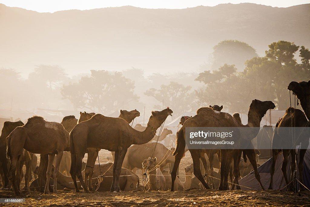 Scene at Pushkar Camel Fair Pushkar Ajmer Rajasthan India