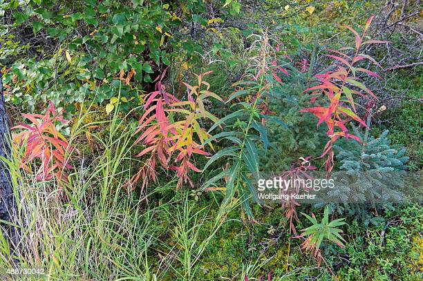 Scene with a small White spruce and Fireweed turning red in early fall at Brooks Falls in Katmai National Park and Preserve Alaska USA