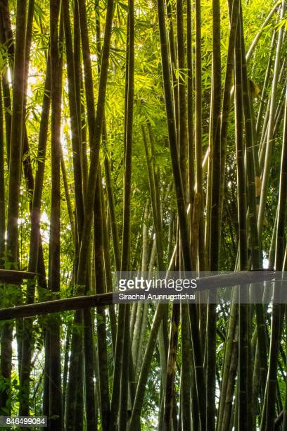 Scenery of a Bamboo Forest