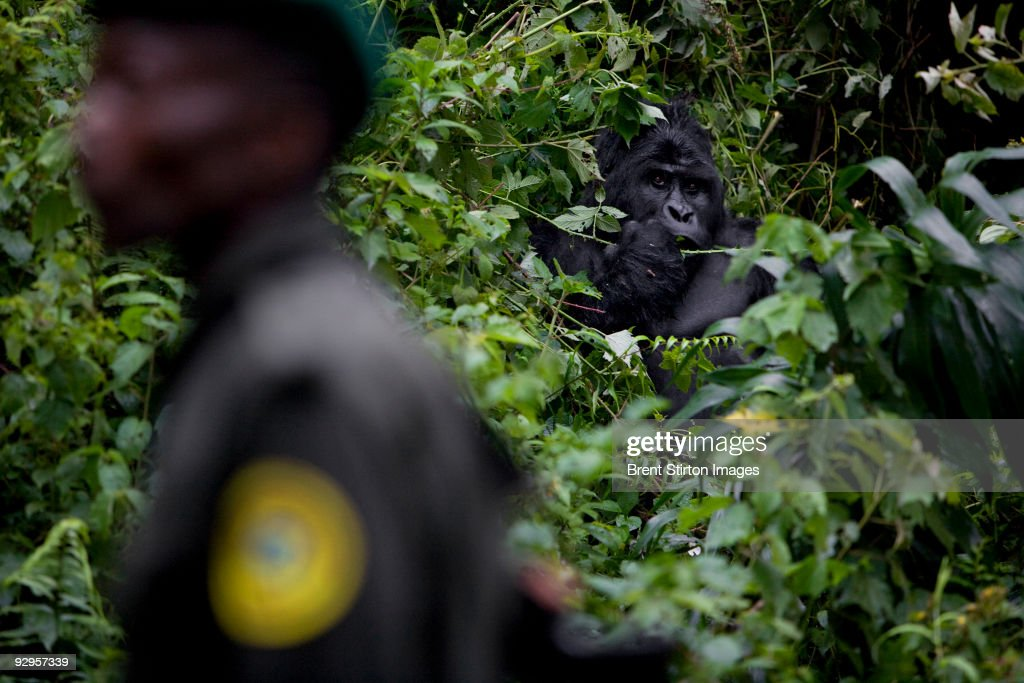 Scenes from a patrol at the Tshabarimu ICCN post. The men are seen making their way up the mountain towards the gorilla sector. This outpost has seen a lot of fighting between different militia groups over the years and only last year 3 people were shot in an unexplained attack on the lower post. A member of WWF was killed and an employee of 'The Gorillas Organisation' was shot in the leg and a student was wounded. Local politicans have used the park, promising land there to local populations if elected. This has caused tension between rangers and the local population. It is the only place other than the southern Mikeno sector, currently under rebel CNDP occupation, where it is possible to see gorillas in the DRC. These are currently classified as Eastern Lowland Gorillas. That said, there is some dispute as to the genetic profile of these gorillas, they resemble mountain gorillas in every way except size, being smaller than the traditional mountain gorilla. Genetic studies thus far point out that these gorillas are closest to Lowland gorillas but studies are ongoing. There are only 20 in total, isolated on the top of Mount Tshiarimu, cut off by human population groups from any other gorilla contact. They are the most northerly occuring of the Lowland gorillas and this may help to explain their similarity to mountain gorillas. This may in fact be the rarest of all gorillas groups if it is determined they are their own sub-species. I was able to briefly shoot a silverback from the Kipura family, a family of six, before the rain completely closed in.