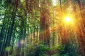 Scenic Forest Sunset. Redwood Forest Landscape. California United States