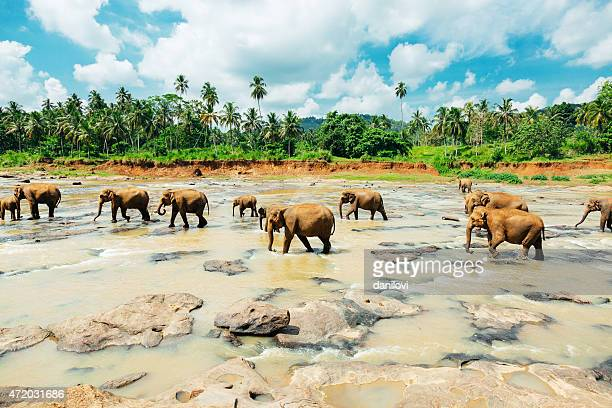 Scenic shot of pin walk elephants at Sri Lanka orphanage