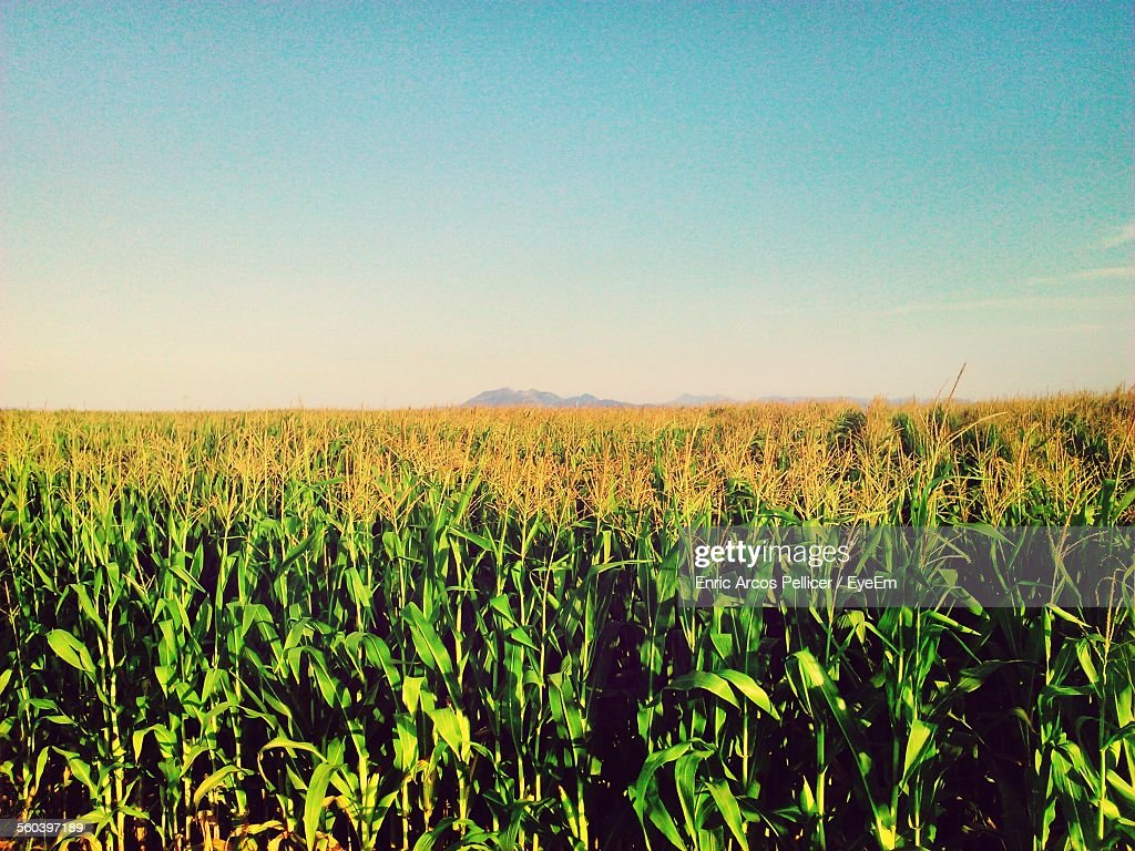 Scenic View Of Corn Field Against Clear Sky