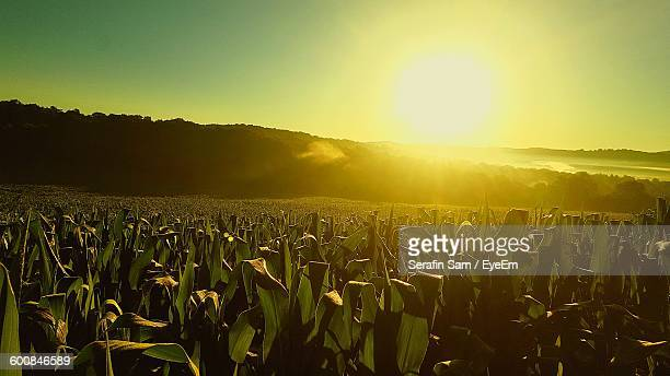 Scenic View Of Corn Field Against Sky During Sunny Day