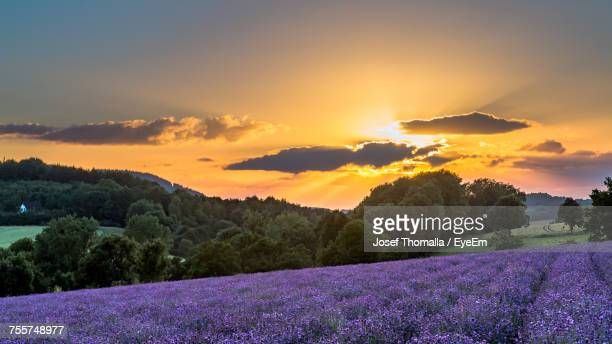 Scenic View Of Lavender Growing On Field Against Sky During Sunset