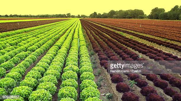 Scenic View Of Lettuce Farm Against Sky During Sunset