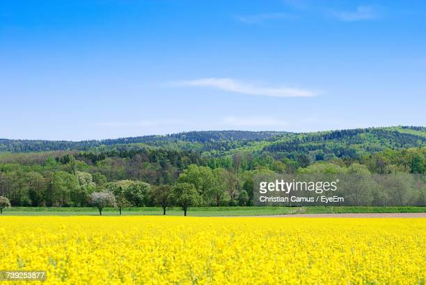 Scenic View Of Oilseed Rape Field Against Blue Sky