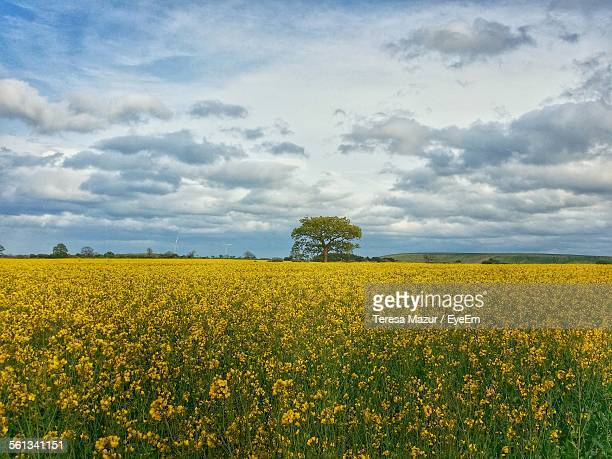 Scenic View Of Rapeseed Field Against Cloudy Sky
