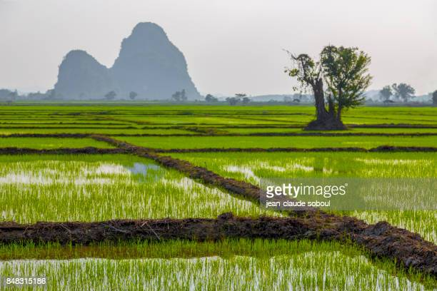 Scenic View Of Rice Field, in chiang rai province (thailand)