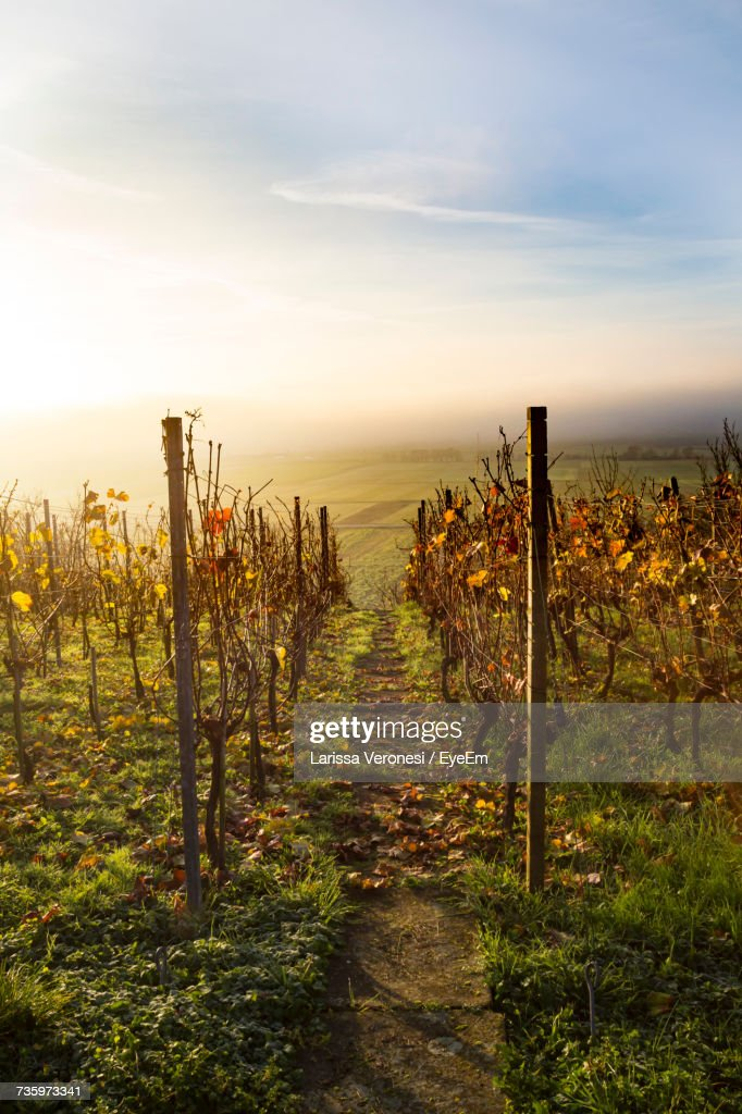 Scenic View Of Vineyard Against Sky During Sunset : Stock-Foto