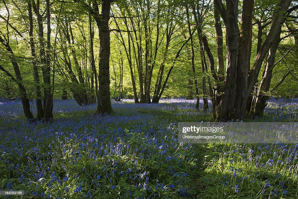 Scenic woodland landscape showing English Bluebells, Hyacinthoides Non-Scriptus, East Sussex, England, United Kingdom