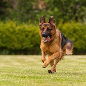 Ein deutscher Schäferhund läuft über eine Wiese