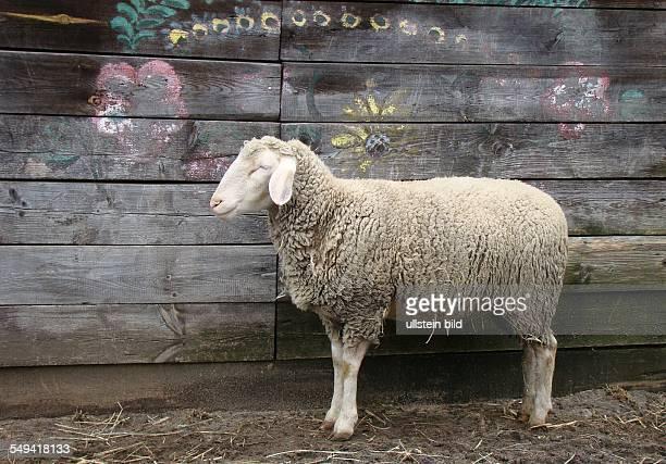 Schafe Ferien mit Tieren Kinderbauernhof Wiesenweg 5 15537 Erkner LOS