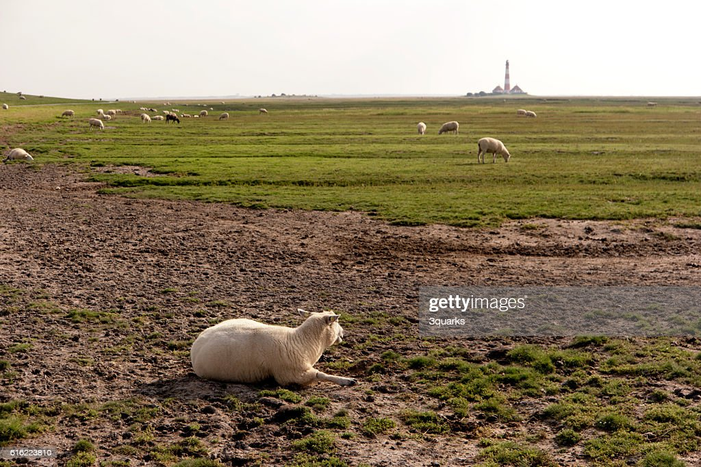 Scheep in Westerhever in Germany : Stock Photo