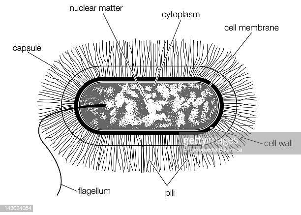 Schematic Drawing Of The Structure Of A Typical Bacterial Cell Of The Bacillus Type
