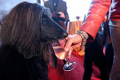 Schino an Afghan Hound drinks a glass of water at a press conference kicking off the 137th Annual Westminster Kennel Club Dog Show on February 7 2013...