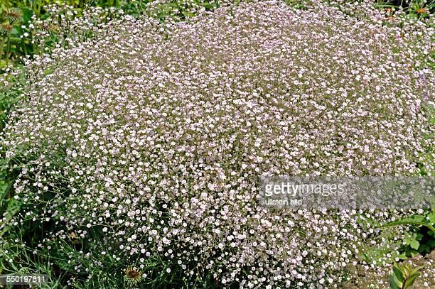 Schleierkraut auch Gipskraut der Sorte Rosenschleier im Bauerngarten