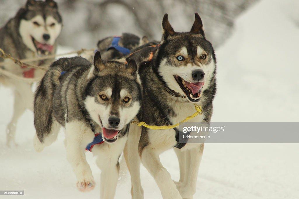 schlittenhunde : Stock Photo
