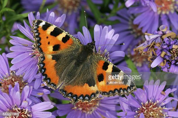 small tortoiseshell butterfly stock photos and pictures getty images. Black Bedroom Furniture Sets. Home Design Ideas