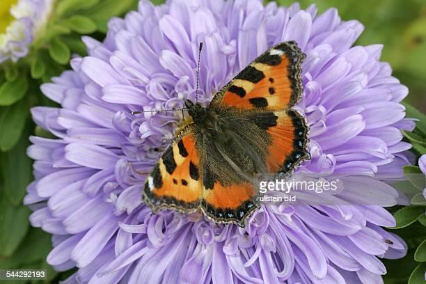 Schmetterling Kleiner Fuchs nektarsaugend auf Blüten der Sommeraster