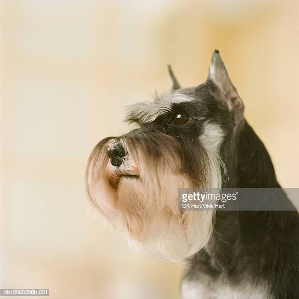 Schnauzer Dog, close-up
