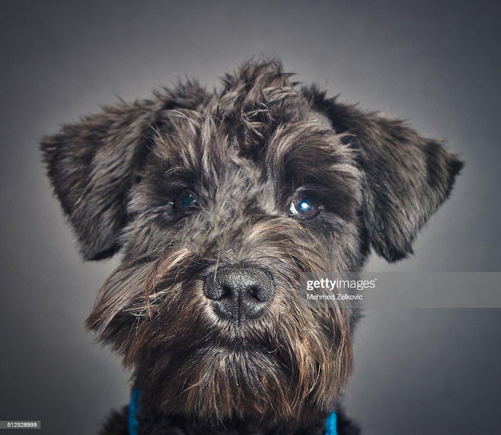 Schnauzer Doggy