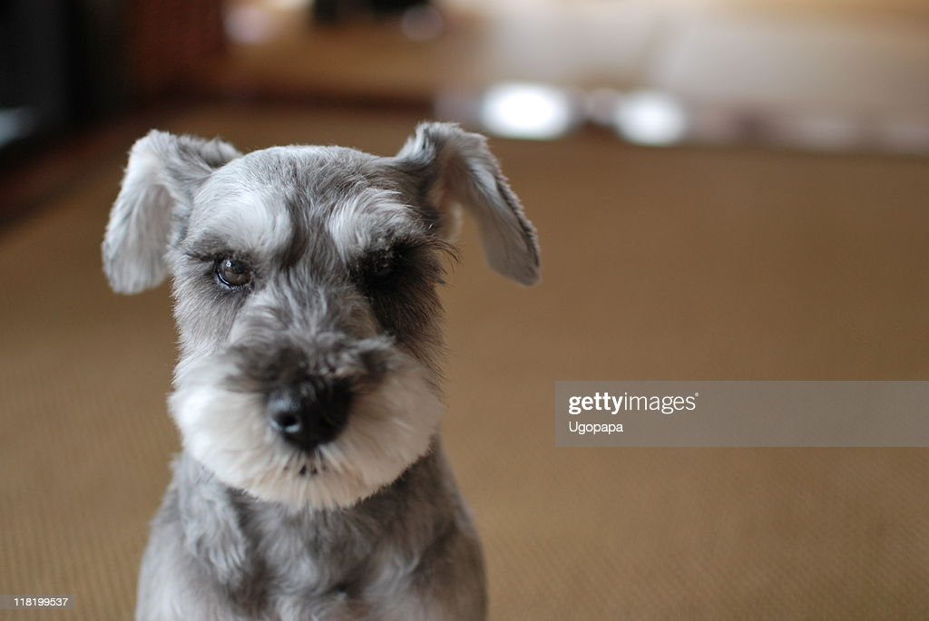 Schnauzer puppy : Stock Photo