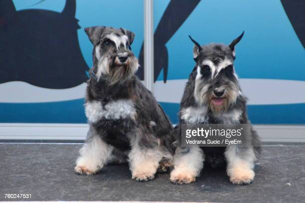 Schnauzer Sitting On Walkway During Dog Show