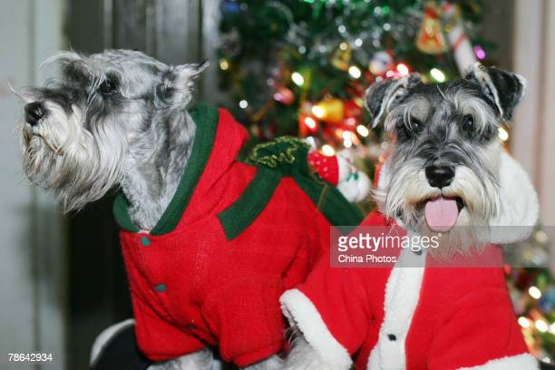 Schnauzers dressed in festive Santa suits are shown during a pet dog show held by the Jilin Pet Industry Association on Christmas Eve December 24...