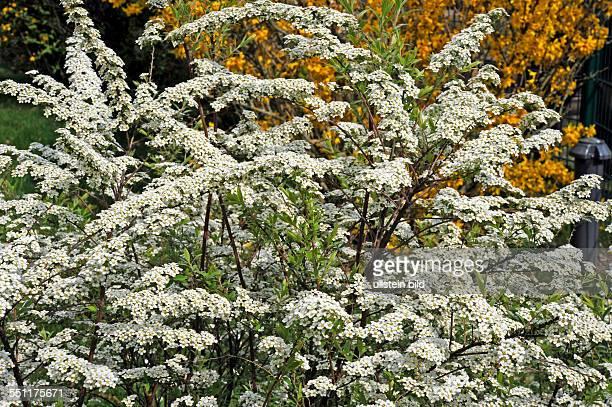 Schneeweiss blueht der Spierstrauch der Sorte Grefsheim im Fruehlingsgarten