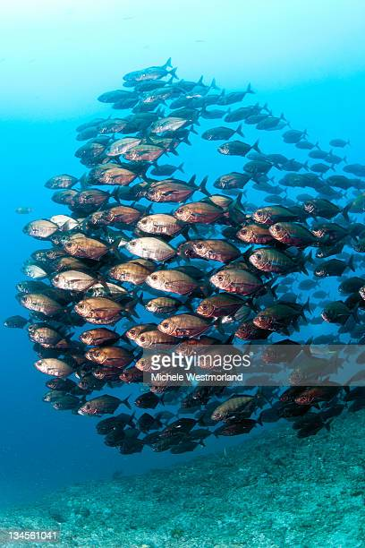 School of Bigeye Fish
