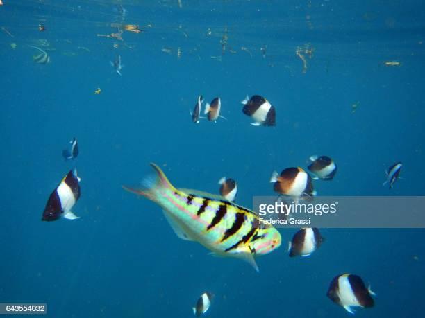 School of Black Pyramid Butterflyfish (Hemitaurichthys zoster)