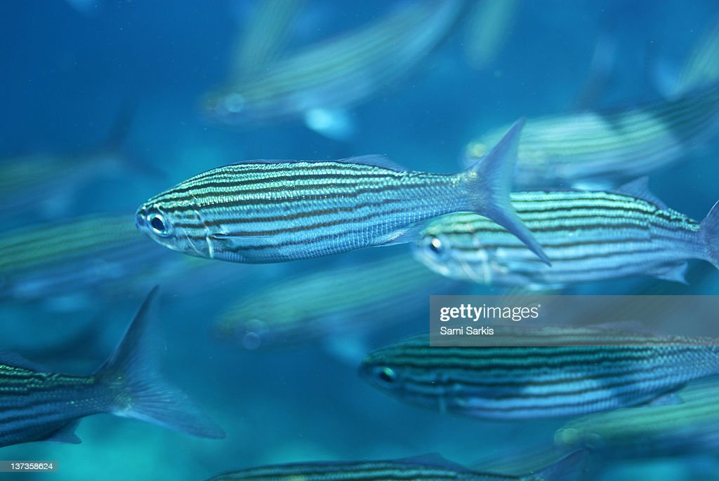 School of Black Striped Salema fishes : Stock Photo