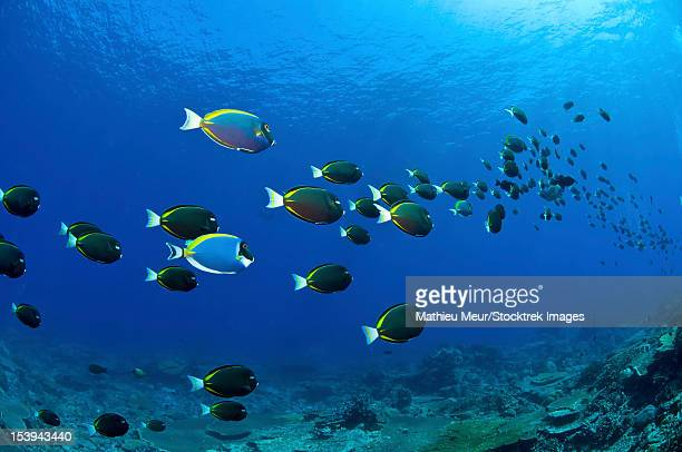 School of black, white, yellow and blue surgeonfish stretching in the distance, Christmas Island, Australia.