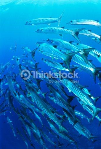 eaeb8bdf19b School of blackfin barracuda fish   Stock Photo