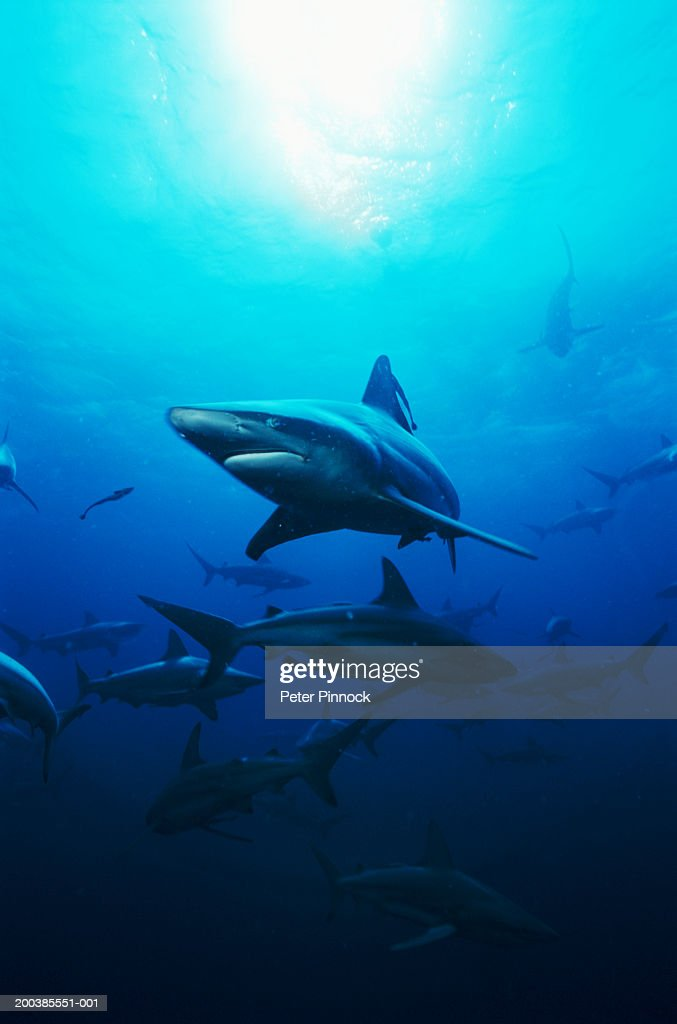 School of blacktip reef sharks (Carcharhinus melanopterus) swimming in ocean : Stock Photo