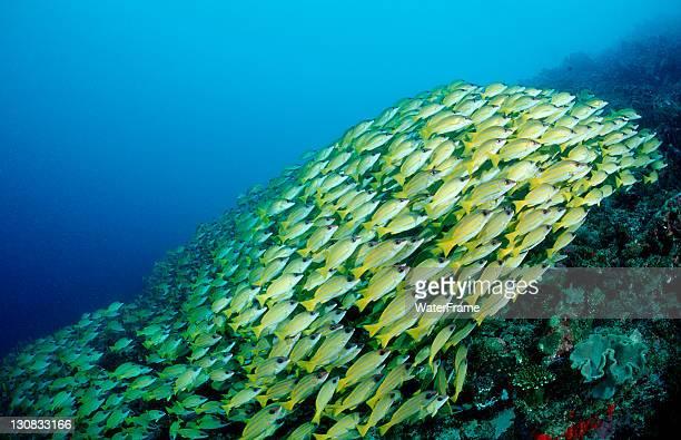 School of Bluestripe Snapper (Lutjanus kasmira), Maldive Islands, Indian Ocean