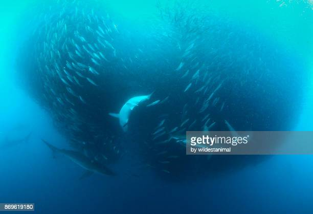 School of bronze whaler sharks attacking a large sardine bait ball during the sardine run, Wild Coast, South Africa.