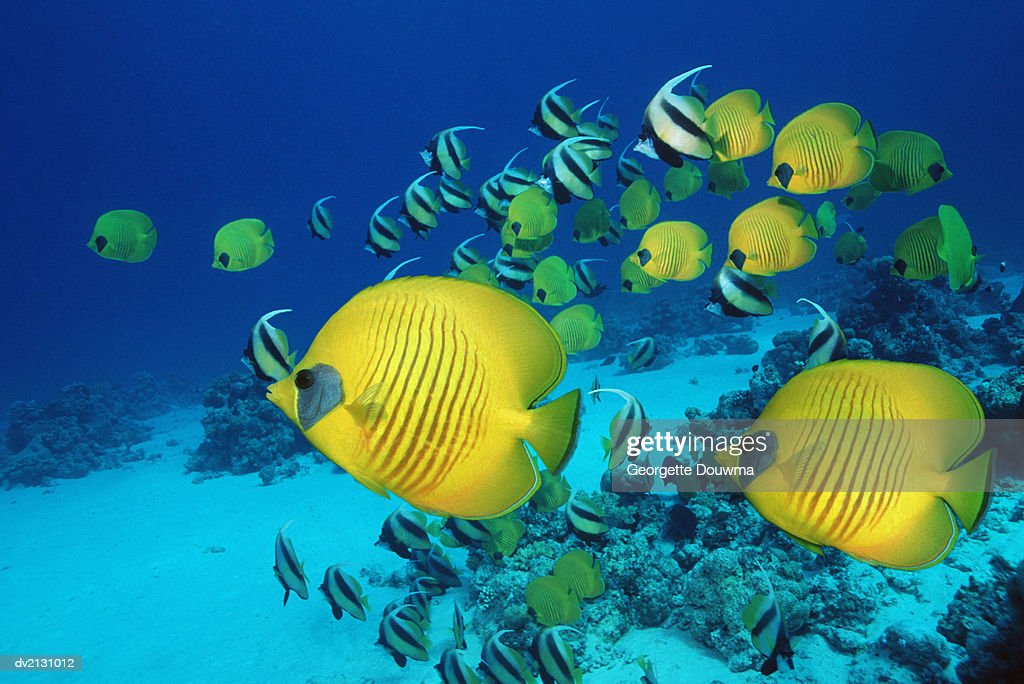 School of Butterfly Fish Swimming on the Seabed