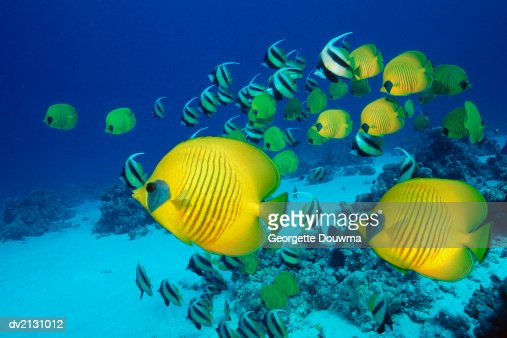 School of Butterfly Fish Swimming on the Seabed : Stock Photo