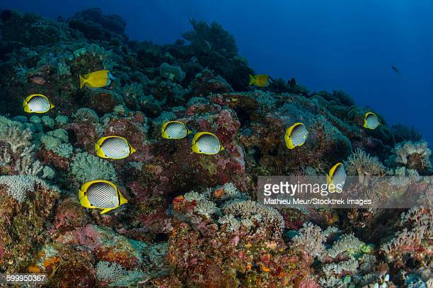 School of butterflyfish and rabbit fish over colorful reef.