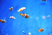 School Of Clown Fish Swimming In Blue Sea