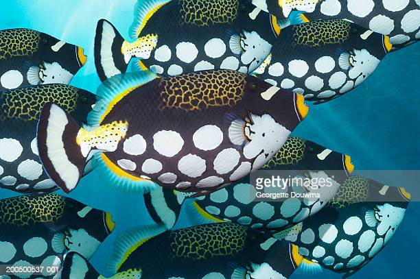 School of clown triggerfish, underwater view, (digital composite)