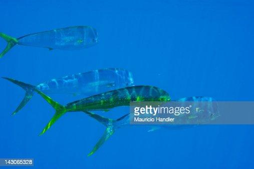 A school of dolphinfish, aka mahi mahi, swimming in open water.