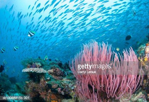 School of fish above reef, underwater view