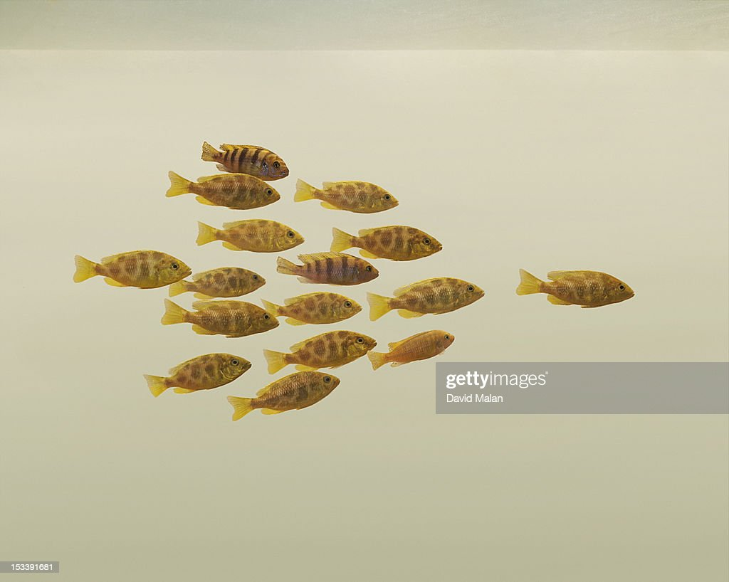 School of fish following one fish. : Stock Photo