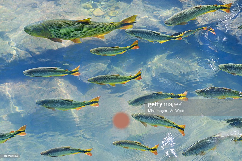A school of fish in the clear waters of a river in the Pantanal in Brazil. : Stock Photo